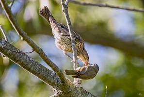 Cowbird Fledgling being fed by Vireo 1 by Nini1965