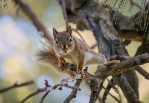 Curiousity (Red Squirrel) 2