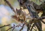 Curiousity (Red Squirrel) 2 by Nini1965