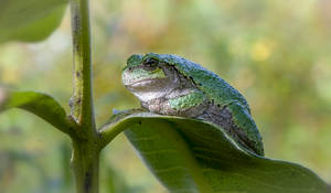An Eastern Gray Tree Frog