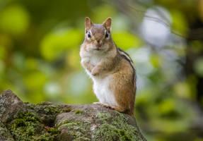 A Curious Chipmunk