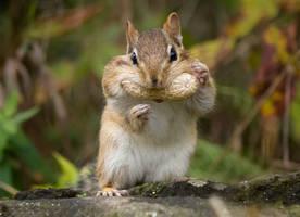 A Chipmunk with a Peanut by Nini1965
