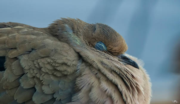 A Sleeping Mourning Dove