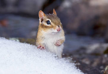 A Chipmunk in the Snow by Nini1965