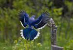 A Blue Jay Landing on a Tree Stump