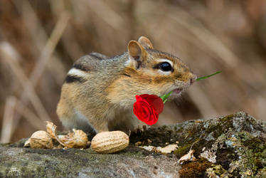 An Eastern Chipmunk with a Rose by Nini1965