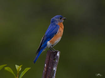 An Eastern Bluebird Male on a Fence Post by Nini1965