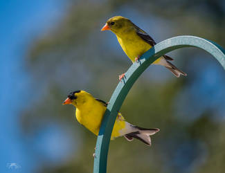 A Pair of American Goldfinches by Nini1965