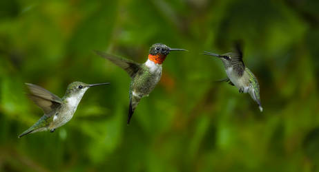 A Family of Ruby-Throated Hummingbirds