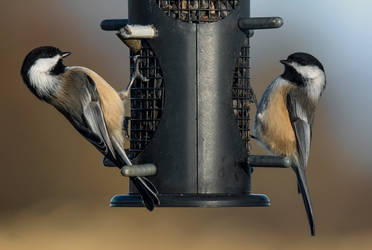 A Pair of Black-Capped Chickadees at a Feeder by Nini1965