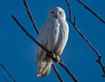 A Beautiful Male Snowy Owl