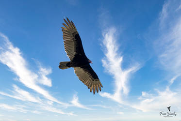 A Turkey Vulture High in the Sky by Nini1965