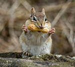 An Chipmunk with a Peanut in It's Mouth by Nini1965