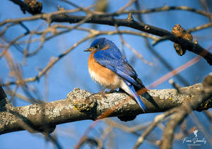 An Eastern Bluebird Perched on a Branch