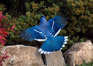 Blue Jay 2 by Nini1965