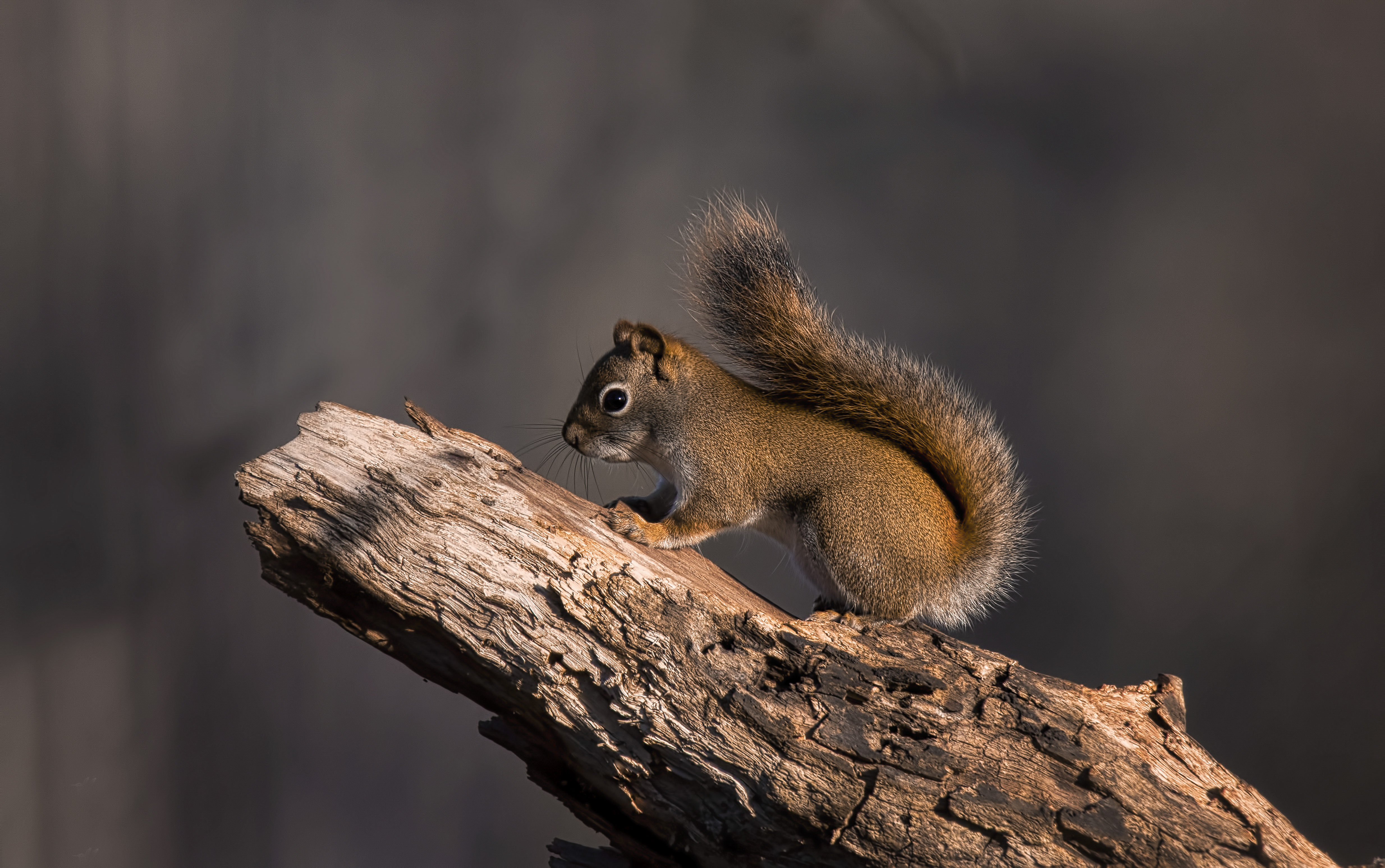 A Red Squirrel on a Tree Trunk