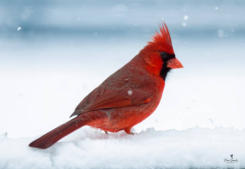 A Portrait of a Cardinal Male in the Snow