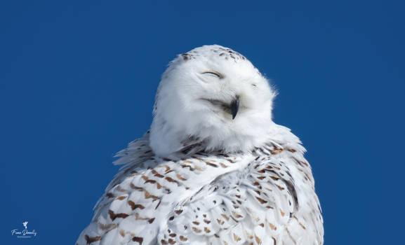 A Beautiful Portrait of a Snowy Owl