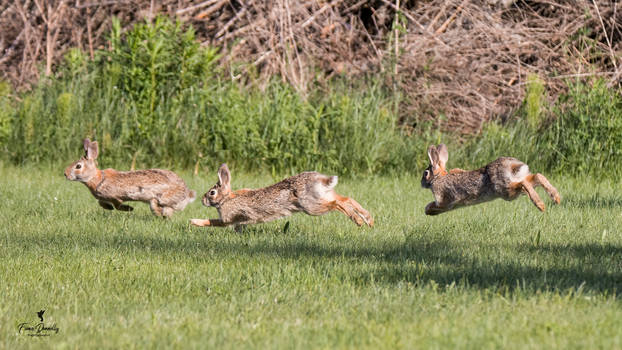 Three Cotton Tail Rabbits Chasing Each Other