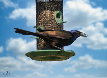 Common Grackle by Nini1965