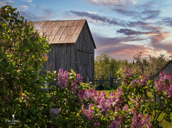 An Old Wooden Barn and Lilacs