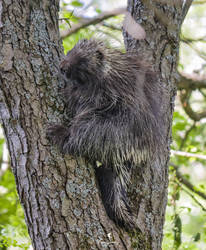 A Porcupine Climbining a Tree