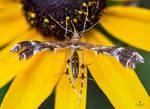 Himmelmans Plume Moth Macro Image