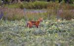 Red Fox by Nini1965