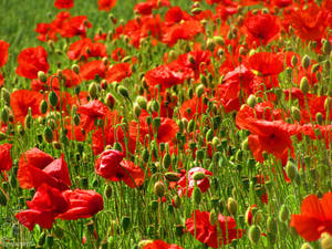 Poppies of peace