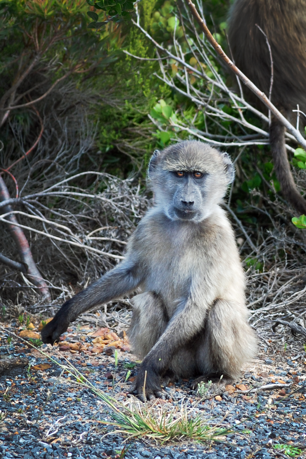 Young Baboon by CompassLogic