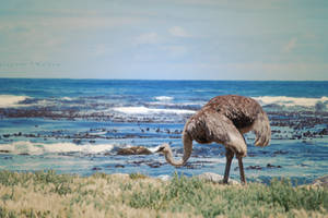 Beach Ostrich
