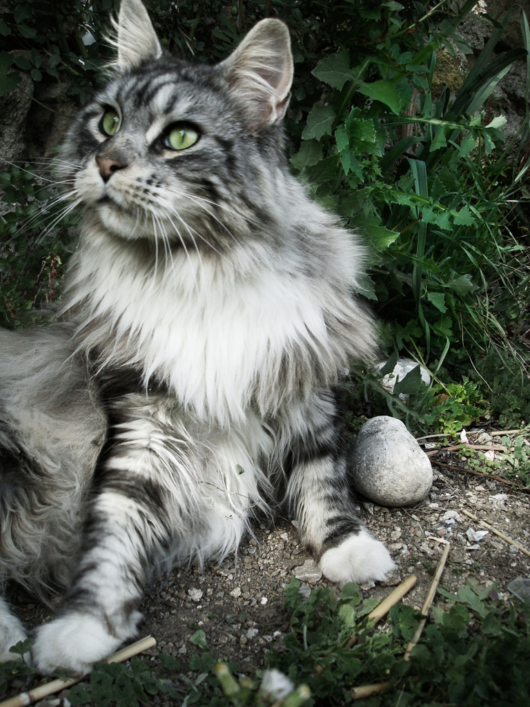 Dark Grey Maine Coon Kittens My Maine Coon ... by F...