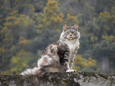 ..Maine coon en balade 3 by Flore-stock