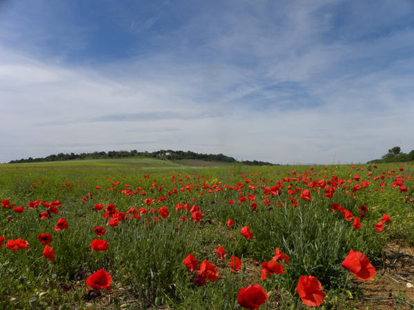 Les coquelicots . by Flore-stock