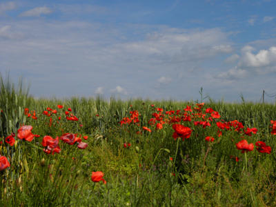 .Poppies by Flore-stock