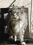 ..My maine coon........