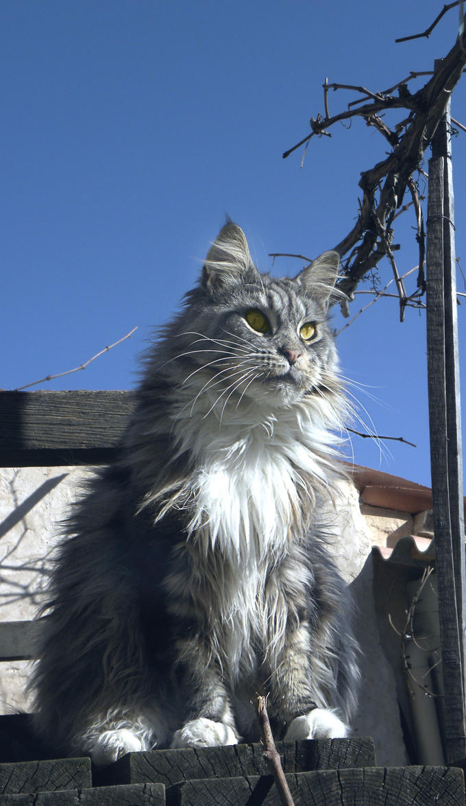 .My maine coon 2 by Flore-stock