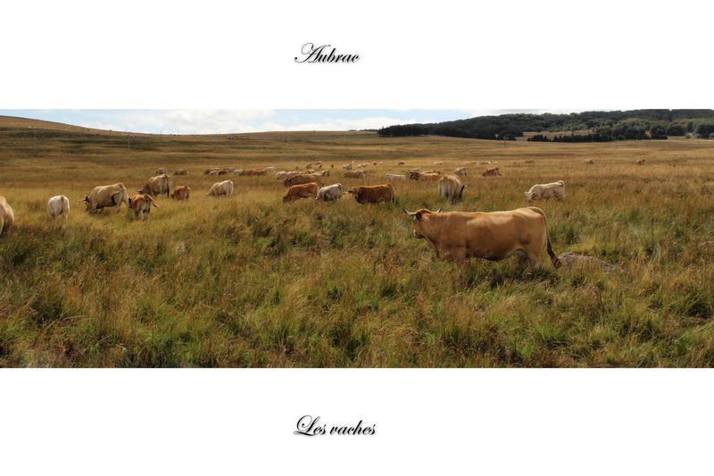 Les vaches de l'Aubrac by Flore-stock