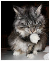 My maine coon 22 by Flore-stock