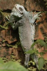 Iguana by PtiteCocci