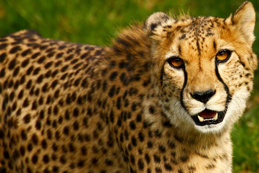gallery for cheetah roaring wallpaper