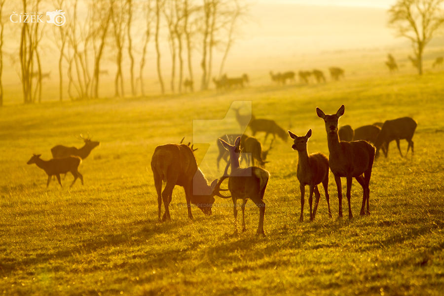 Field of deers by Lion-Redmich