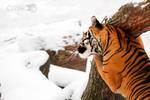 Tigers need hugs