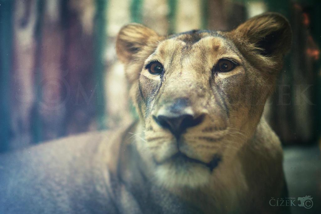 Vintage lioness by Lion-Redmich