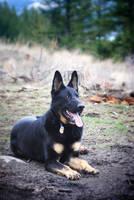 German Shepherd by kalicobay