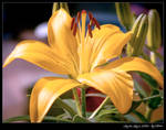 Lily in July