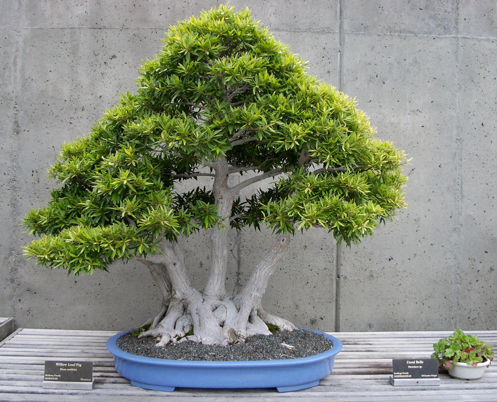 Willow Leaf Fig Bonsai By Fariskalin On Deviantart