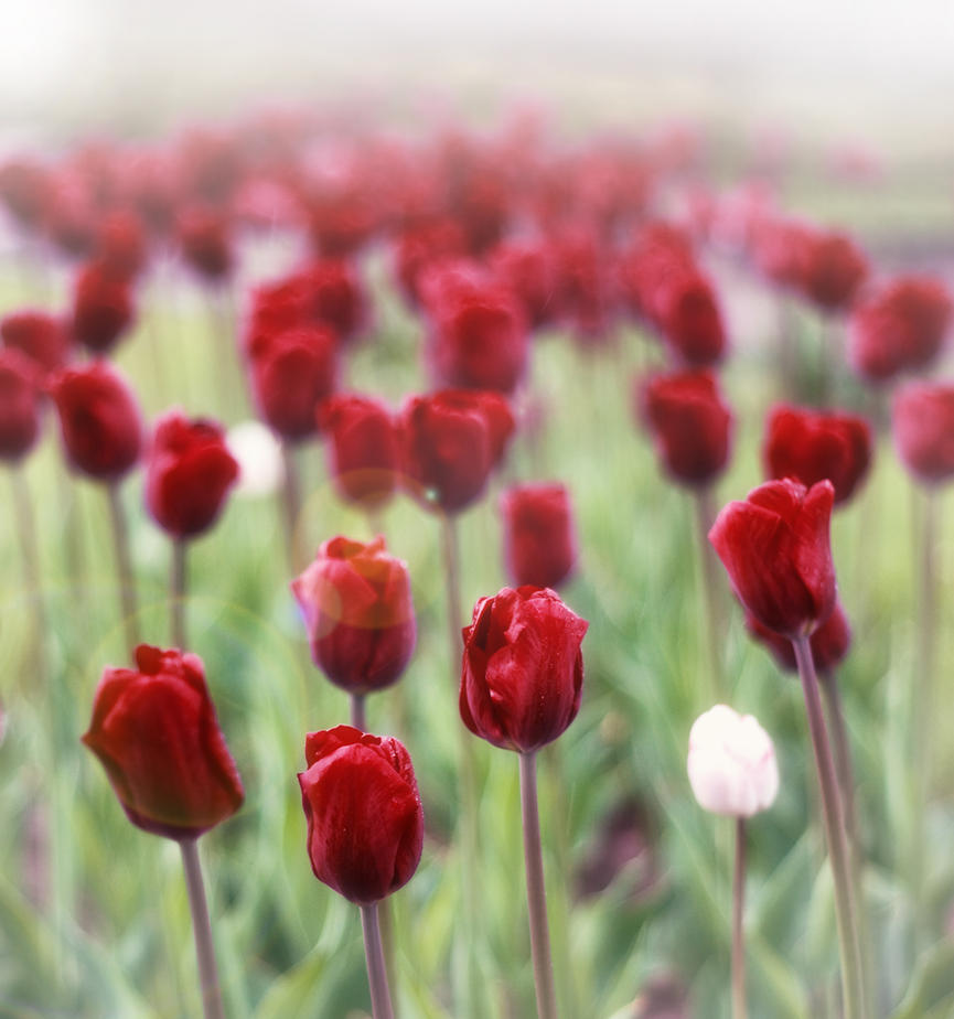 Tulip-bed by Palanteer