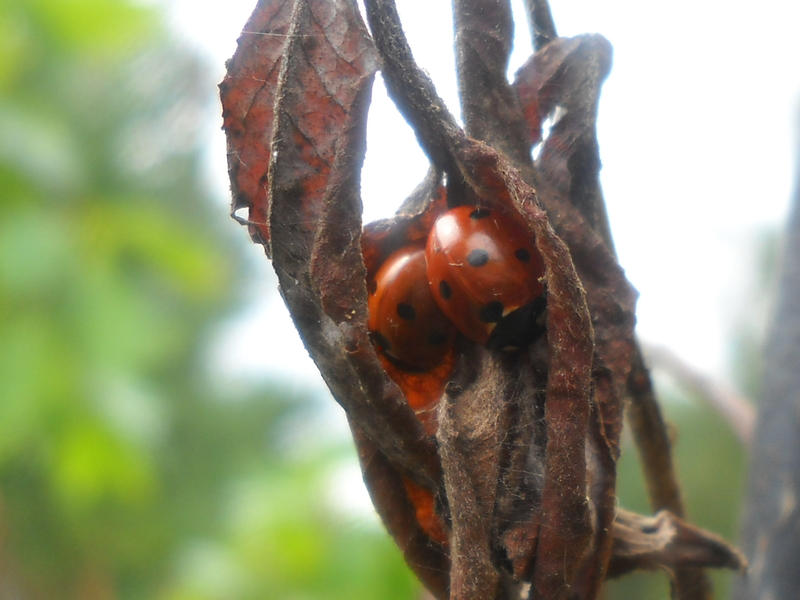 Coccinellidae by JM-Deadman