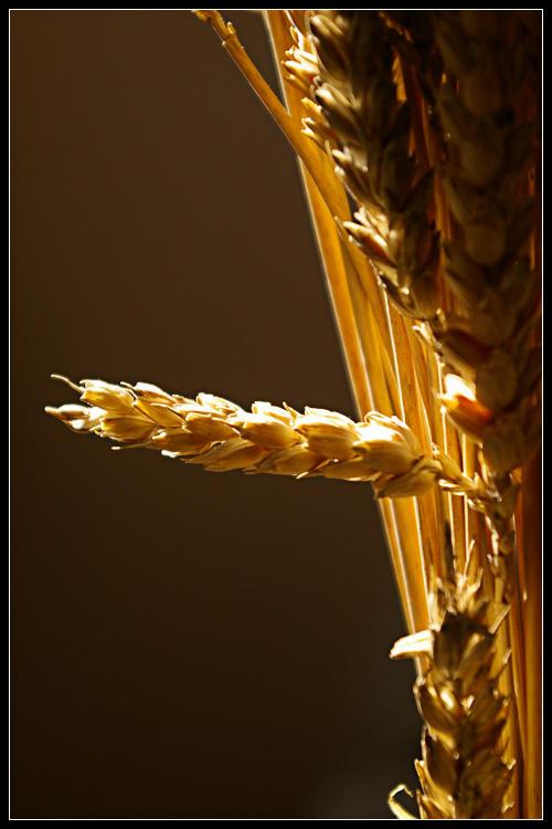 wheat and sun